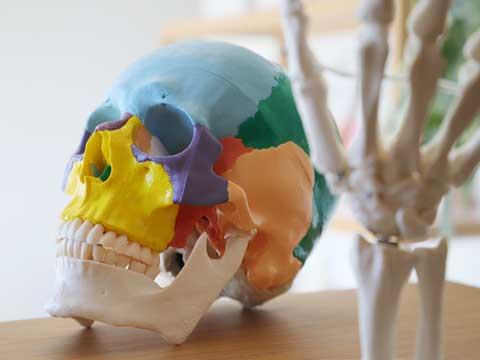 頭蓋骨と手根骨