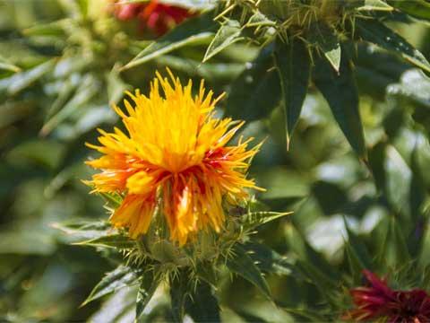 キク科 紅花 サフラワーの花