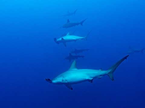スクワランの原料となるサメの画像
